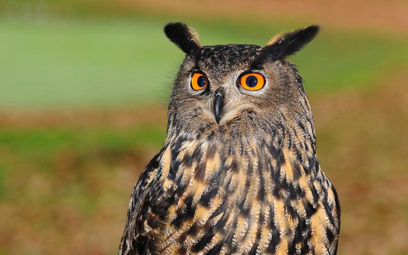 kızılderili burcu: baykuş