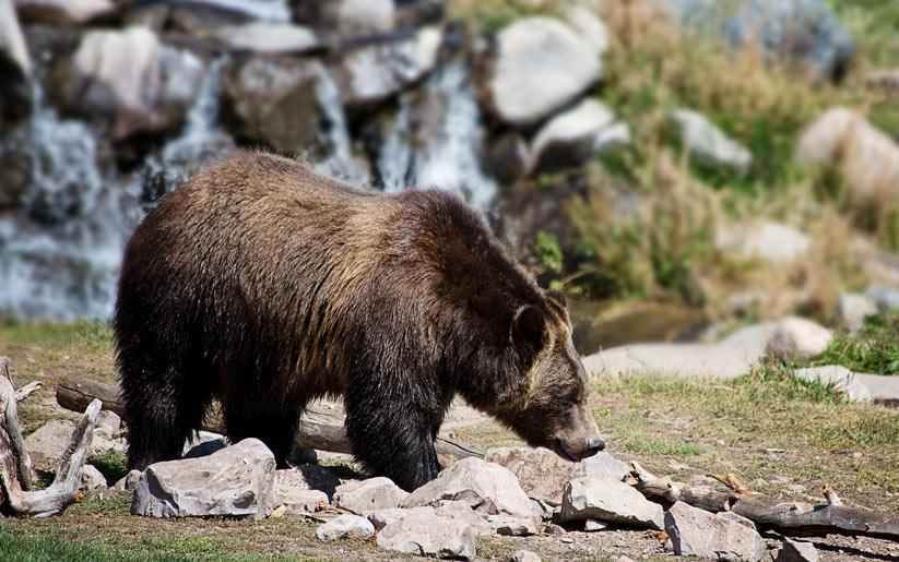 kızılderili burcu: boz ayı