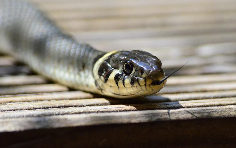 kızılderili burcu: yılan