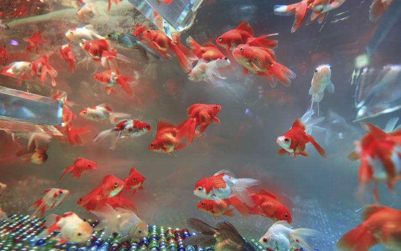 evcil hayvan - balıklar