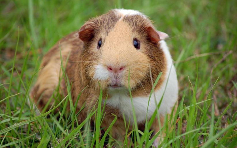 gine domuzu da evde beslenebilecek hayvanlar arasında