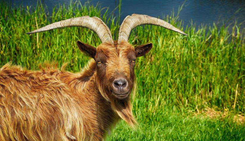 keçi'nin özellikleri