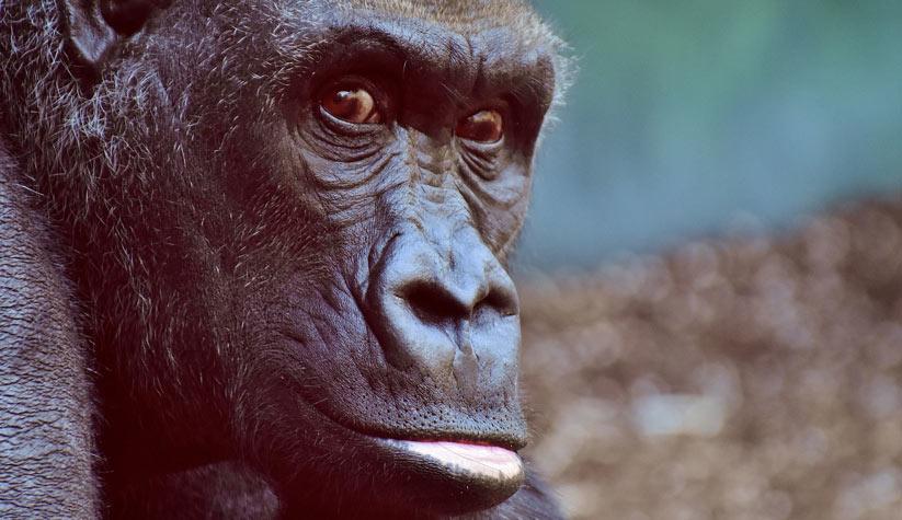 maymun'un özellikleri