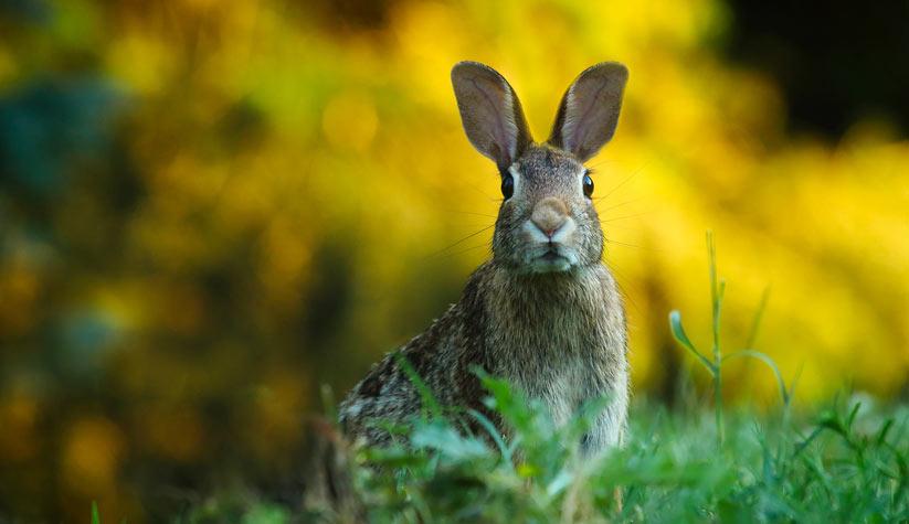tavşan'ın özellikleri